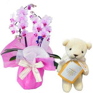 ミディ胡蝶蘭 お祝い 2本立 ピンク色 アロマベアー ホワイト クマさん セット ギフト