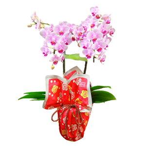 ミディ胡蝶蘭 風呂敷包み 2本立ち ピンク色 竹久夢二 枝梅
