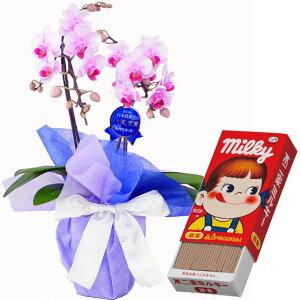 ミディ胡蝶蘭 2本立ち ピンク色 カメヤマのお線香 ミルキーの香りのミニ寸線香 線香セット