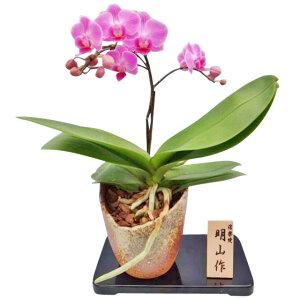 胡蝶蘭 1本立ち ピンク系 信楽焼鉢 椎名洋ラン園 産地直送の花ギフト
