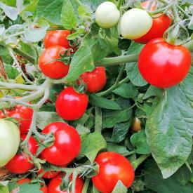 【ふるさと納税】北海道オホーツク産 トマト『なつのしゅん』3kg (調理用ホールトマト)