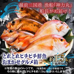 【坂井市ふるさと納税】とれとれピチピチの魚