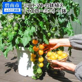 【ふるさと納税】すぐに収穫できる ミニトマトの鉢植(イエローミニ) H103-002