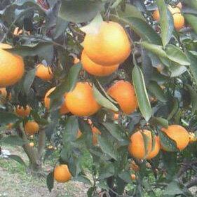 【ふるさと納税】マルユー園清見オレンジ10kg混合 ※2019年2月20日〜4月10日発送予定