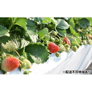 【ふるさと納税】初植!初収穫!はなまるいちご【さぬきひめ】1kg 【果物類・いちご・苺・イチゴ・果物詰合せ・フルーツ・さぬきひめ】