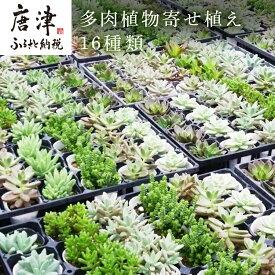 【ふるさと納税】 多肉植物寄せ植え16種類おまかせセット
