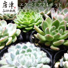 【ふるさと納税】 多肉植物エケベリア24ポットおまかせセット
