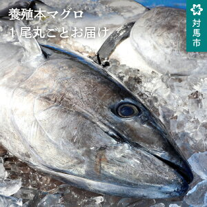 【ふるさと納税】G-010 対馬特産 対海の養殖本マグロ 1尾丸ごとお届け!