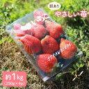 【ふるさと納税】【訳あり】やさしい苺1kg(16〜24玉)<川原農園> [CDR001]