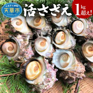 【ふるさと納税】さざえ 1kg超え 約3人前 活きサザエ バーベキュー 海鮮 魚貝類 新鮮