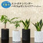 【ふるさと納税】エコ・ポチシリンダーパキラorサンスベリア・ハニー