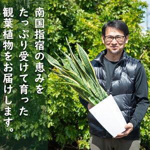 【ふるさと納税】オーガスタ7号サイズ(約70cm)南国鹿児島で育った観葉植物!【GreenBase】【1067986】