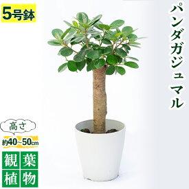 【ふるさと納税】観葉植物 パンダガジュマル5号サイズ【前園植物園】【1006566】
