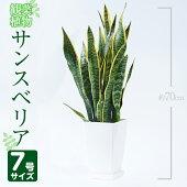 【ふるさと納税】サンスベリア・ローレンティー7号サイズ(約70cm)【GreenBase】南国鹿児島で育った観葉植物【1067984】