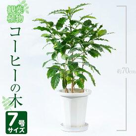 【ふるさと納税】<2020年3月20日〜10月30日の間に発送>コーヒーの木 7号サイズ(約70cm)南国鹿児島で育った観葉植物!【GreenBase】
