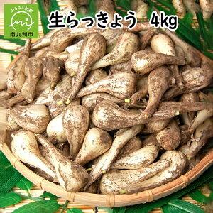 【ふるさと納税】漬物作りに!生らっきょう(中〜大粒)4kg