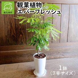 【ふるさと納税】観葉植物 エバーフレッシュ1鉢