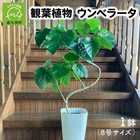 【ふるさと納税】観葉植物 ウンベラータ8号サイズ1鉢