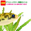 (熱帯魚 活餌)( オススメ)アベニーパファー用ミジンコ  400ml(100匹〜)【水槽/熱帯魚/観賞魚/飼育】【生体】【通販…