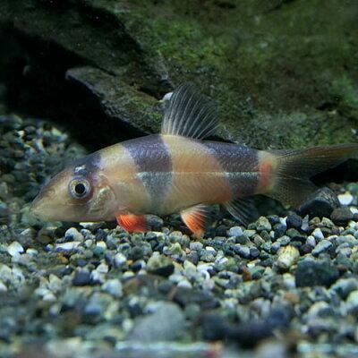 (熱帯魚)クラウンローチ(約3-4cm)(3匹)【再入荷】