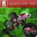 (熱帯魚)コイカラーベタ (1ペア)【水槽/熱帯魚/観賞魚/飼育】【生体】【通販/販売】【アクアリウム】