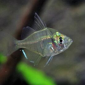 (熱帯魚 生体)グラスエンゼルフィッシュ(約2cm)(5匹)【Tropical fish】【水槽/熱帯魚/観賞魚/飼育】【生体】【通販/販売】【アクアリウム/あくありうむ】