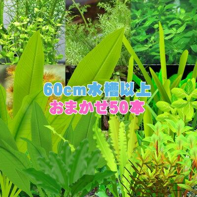 (水草)水槽サイズ60cm〜にお勧め水草おまかせ50本セット(7種以上)