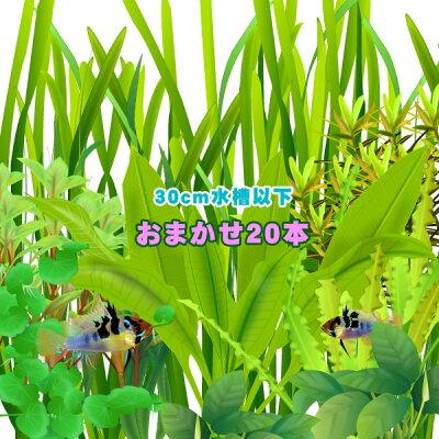 (水草)水槽サイズ30cm以下にお勧め水草おまかせ20本セット(5種以上)