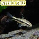 (熱帯魚)( 週替わり限定)タイガープレコ(約4-5cm)(1匹)【水槽/熱帯魚/観賞魚/飼育】【通販/販売】【アクアリウム/あくありうむ】