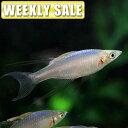 (熱帯魚)( 週替わり限定)コバルトブルーラミレジィ(約2-3cm)(1匹)【水槽/熱帯魚/観賞魚/飼育】【生体】【通販/販…