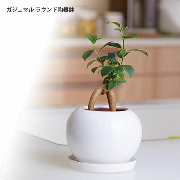 【ポイント5倍】ガジュマル ラウンド陶器鉢 ガジュマルの木 がじゅまる 観葉植物 【沖縄・離島は別途送料】