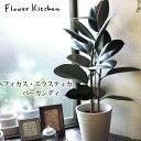 (観葉)『 フィカス・エラスティカ バーガンディ 7号 白セラート鉢 』/ゴムの木/ギフト★育てやすい 観葉植物【楽ギフ_…