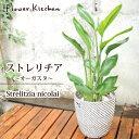 『 ストレリチア 7号鉢 オーガスタ 【イケア】【IKEA】 の 北欧テイスト かご付き 』Strelitzia nicolai/ニコライ/Str…