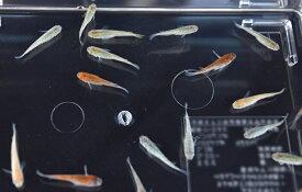 【特価】ラメメダカ ミックス 10匹セット