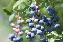 ブルーベリー苗ノーザンハイブッシュ系「チャンドラー」樹高30〜50cm13.5cm(4.5号)ポット