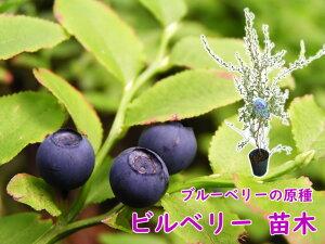 ブルーベリーの原種 「ビルベリー 苗 苗木」12cmポット 樹高約60cm 野生種 ワイルドブルーベリー ネイティブブルーベリー