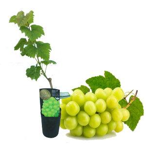 ぶどう 苗木 苗 「シャインマスカット 挿木苗」 10.5cmロングポット 樹高約40〜50cm ブドウ 葡萄
