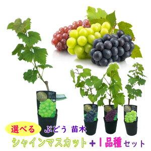 【選べる】ぶどう 苗木 苗 「シャインマスカット + 1品種 セット」 10.5cmロングポット 挿木苗 樹高約40〜50cm ブドウ 葡萄