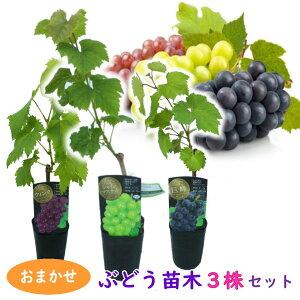 【おまかせ】ぶどう 苗木 苗 3株セット 10.5cmロングポット 挿木苗 シャインマスカットは必ず入ります 樹高約40〜50cm ブドウ 葡萄