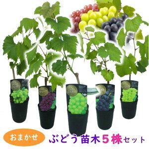 【おまかせ】ぶどう 苗木 苗 5株セット 10.5cmロングポット 挿木苗 シャインマスカットは必ず入ります 樹高約40〜50cm ブドウ 葡萄