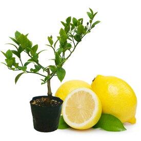 送料無料! レモン 苗木 苗 レモンの木 「リスボンレモン 挿木苗」 13.5cm(4.5号)ポット 樹高約30cm