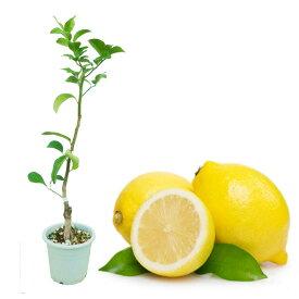 レモン 苗木 苗 レモンの木 「とげなしレモン」 5号鉢 樹高約50cm トゲナシレモン 棘なしレモン 柑橘 柑橘苗
