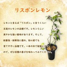 レモン苗木苗レモンの木「リスボンレモン挿木苗」13.5cm(4.5号)ポット樹高約30cm