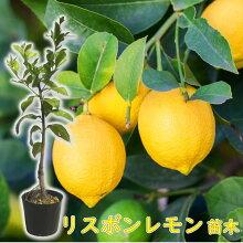 【実なし】とにかく根がガッチリ!レモン苗木苗レモンの木「リスボンレモン」13.5cm(4.5号)ポット樹高約30cm