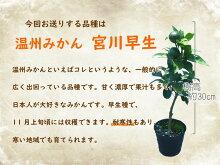 【実付き】温州みかん苗「宮川早生」15cm(5号)ポット樹高約30cm接ぎ木2年生苗2〜3つ実がついていますとにかく根がガッチリ!