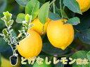 【送料無料】【実なし】とにかく根がガッチリ! レモン 苗 レモンの木 「とげなしレモン」 13.5cm(4.5号)ポット 樹…