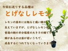 レモン苗木苗レモンの木「とげなしレモン」5号鉢サイズ樹高約40cmトゲナシレモン棘なしレモン柑橘柑橘苗