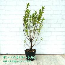 【ハーブ】ギンバイカ(マートル)苗苗木15cmポット樹高約50cm銀梅花銀香梅ぎんばいかぎんこうばいミルタス