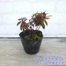 ブルー系ミニシャクナゲ『ブルーダイヤモンド』挿し木1年苗です9cmポット