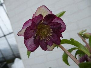 クリスマスローズ 苗 開花株 K006 赤紫系 八重咲き 12.0cm〜13.5cmポット 商品撮影日2021年1月28日です 到着時には花が終わっている可能がありますので予めご了承ください。